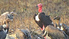 Critically Endangered Red-headed Vulture by guide Phil Gregory