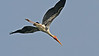 Painted Stork by participant George Sims