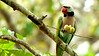 Red-breasted Parakeet at Angkor Wat by participant Deanna MacPhail
