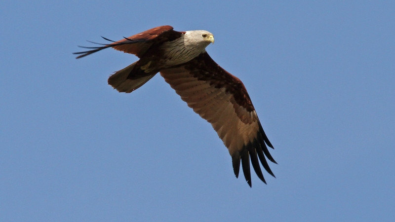 Brahminy Kite is widespread across Asia, and we recorded several, including this one at Prek Toal. Photo by participant George Sims.