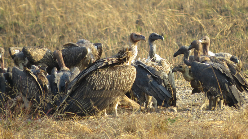 Vagrant Himalayan Griffon (in the middle) with critically endangered White-rumped and Slender-billed vultures by guide Phil Gregory