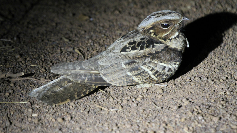 Indian Nightjar by participant George Sims