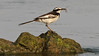 Mekong Wagtail (described in 2001) by participant George Sims