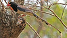 Red-billed Blue-Magpie at Tmatboey by participant George Sims