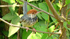 We had lovely views of the newly described Cambodian Tailorbird! Photo by participant Deanna MacPhail.