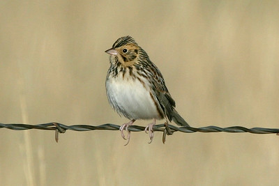 Baird's Sparrow, a prairie specialty and beauty if seen well. Photo by guide Dave Stejskal.