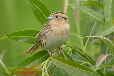 A LeConte's Sparrow along our route, by participant Kevin Heffernan.