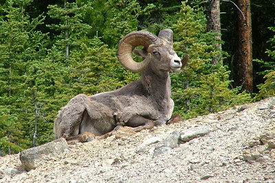 Bighorn Sheep, among the mammals we should see, by participant Pat Newman.