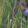 A Nelson's Sparrow comes out from the marsh for a peek. Photo by guide Doug Gochfeld.