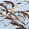 Black Skimmers over the beach, by guide Doug Gochfeld
