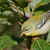 A Northern Parula showing its greenish back patch, by guide Doug Gochfeld