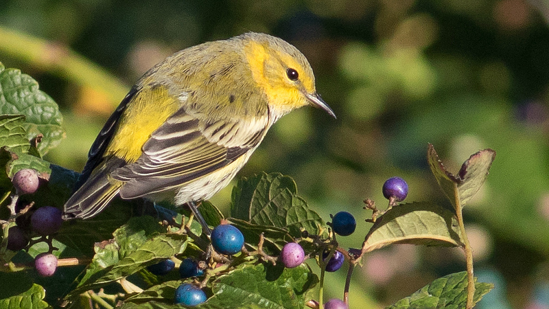 A Cape May Warbler in lovely fall light, by guide Doug Gochfeld