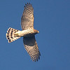 Cooper's Hawk by guide Cory Gregory