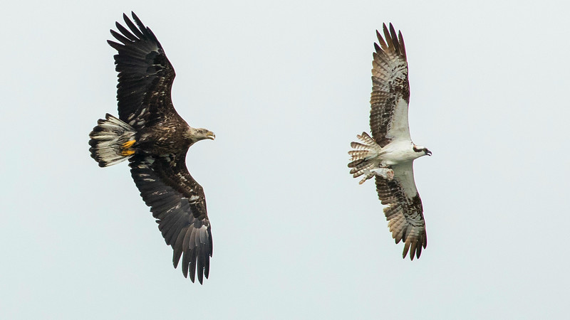 A young Bald Eagle harasses an Osprey for its catch. Photo by guide Doug Gochfeld.