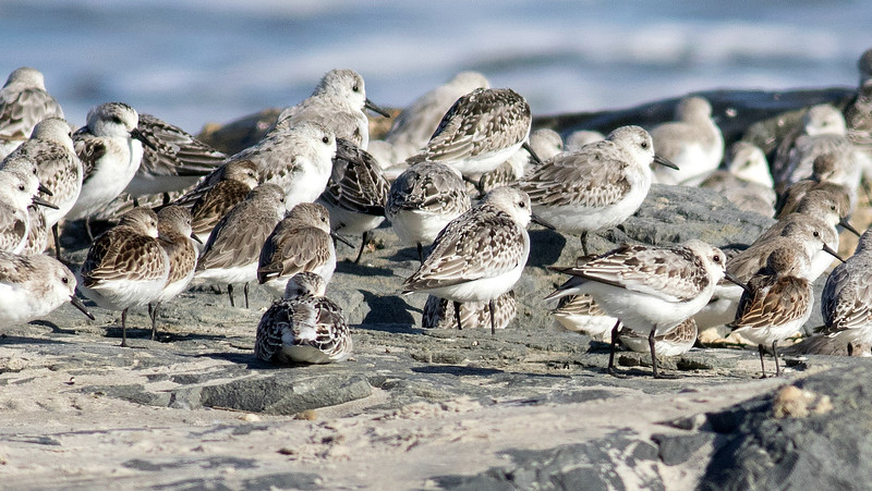 Sanderlings dwarf smaller peep at a roost. Photo by guide Doug Gochfeld.