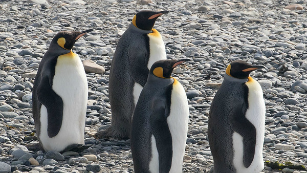 King Penguins in southern Chile, photographed by participant Bernie Grossman.