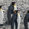 King Penguins in southern Chile by participant Bernie Grossman