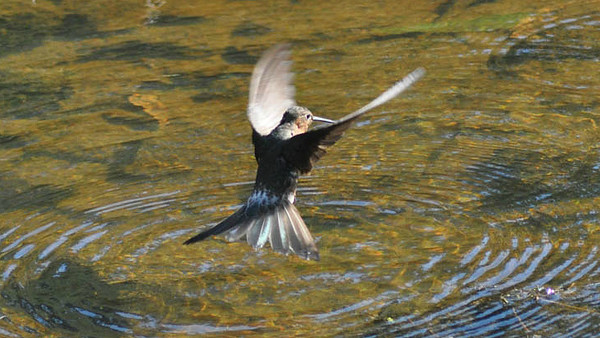 A Giant Hummingbird bathing, photographed by participant Bruce Stevenson.