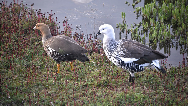 A variety of lovely waterfowl includes Upland Geese. Photo by participant Daphne Gemmill.