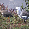 Upland Geese by participant Daphne Gemmill