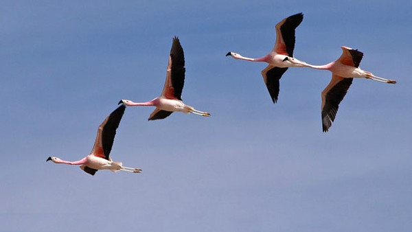 Chilean Flamingos, photographed by participant Daphne Gemmill.