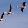 Chilean Flamingos by participant Daphne Gemmill