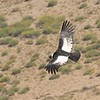 A magnificent Andean Condor from above by participant Jeanette Shores