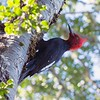 Magellanic Woodpecker by guide Marcelo Barreiros