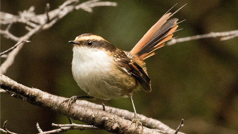 The spritely Thorn-tailed Rayadito, photographed by participant Bernie Grossman.