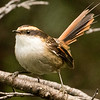 The spritely Thorn-tailed Rayadito by participant Bernie Grossman