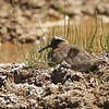 Diademed Sandpiper-Plover in the high Andes by participant Jeanette Shores
