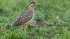 Double-striped Thick-knee is a prize of the grasslands. Photo by guide Richard Webster.