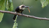 Pale-headed Jacamar:  only in NE Colombia & NW Venezuela. Photo by Richard Webster.