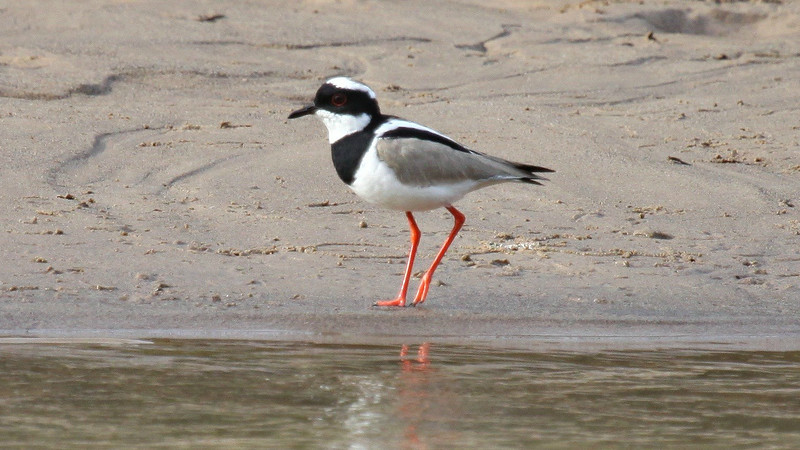 Pied Lapwings are uncommon along sandy banks. Photo by guide Jesse Fagan.