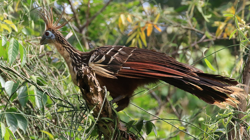 Hoatzin at Hato Aurora, photographed by guide Richard Webster.