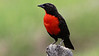 A beacon in open country: Red-breasted Blackbird. Photo by guide Jesse Fagan.