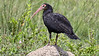 Six species of ibis are possible: this is the big Sharp-tailed. Photo by guide Jesse Fagan.