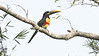 Chestnut-eared Aracari, photographed by guide Jesse Fagan.