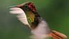The brilliant Ruby-topaz Hummingbird at Jardin Encantado, by guide Richard Webster.