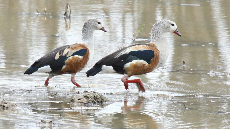 Orinoco Geese are one of the highlight waterfowl. Photo by guide Jesse Fagan.