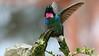 The fabulous Tourmaline Sunangel, photographed by guide Richard Webster.