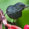 The curious bill of a Slaty Flowerpiercer, by guide Cory Gregory