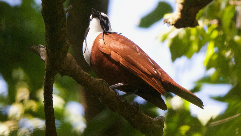 A tour highlight: Three-wattled Bellbird, by guide Cory Gregory