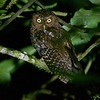 Bare-shanked Screech-Owl, by guide Cory Gregory