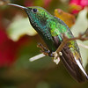 Coppery-headed Emerald, by guide Cory Gregory