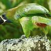 Emerald Toucanet, by participant Jan Wood