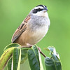 Stripe-headed Sparrow, by guide Cory Gregory