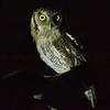 Tropical Screech-Owl, by guide Cory Gregory