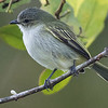 Paltry Tyrannulet is cool: it's a mistletoe specialist. Photo by guide Tom Johnson.