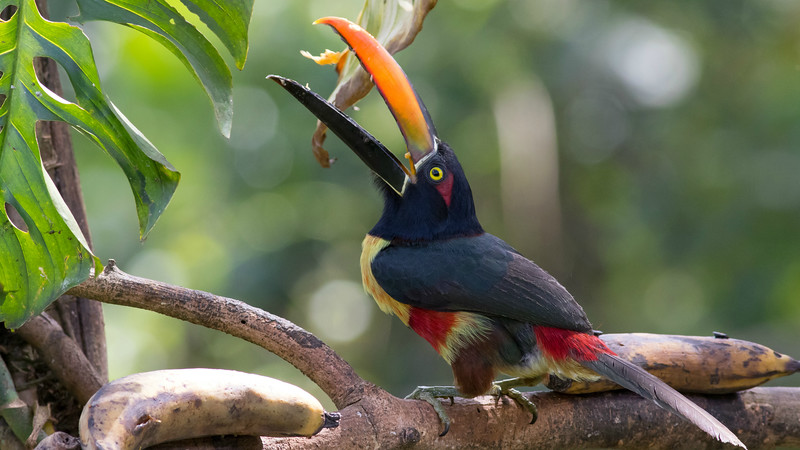 Eye candy at Talari: the colorful Fiery-billed Aracari. Photo by guide Tom Johnson.